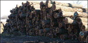 Midwest Walnut Lumber Logs